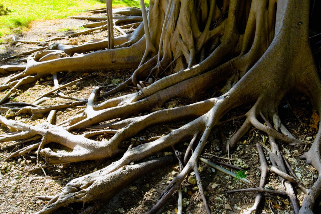 tree root dna
